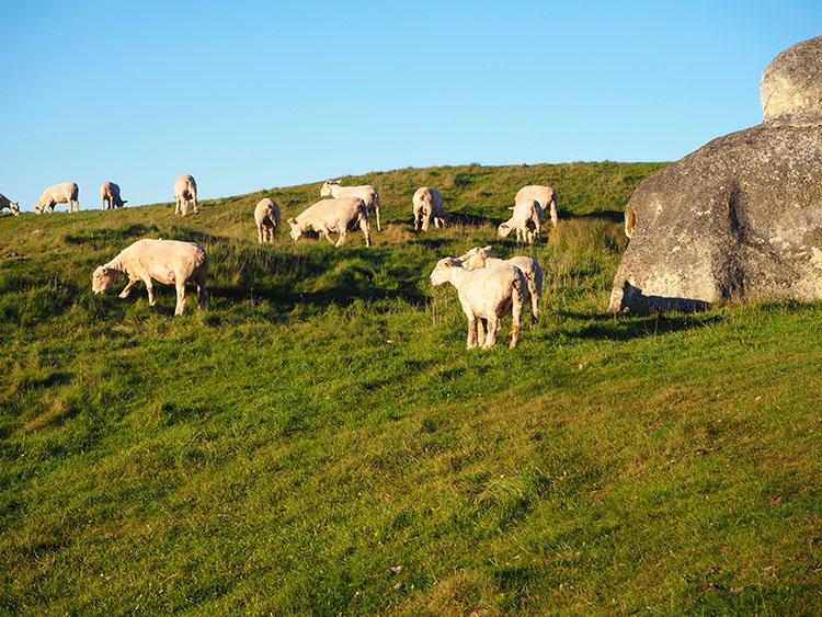 Moutons idiots