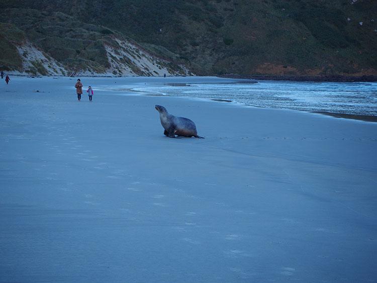 Lion de mer Sandfly Bay