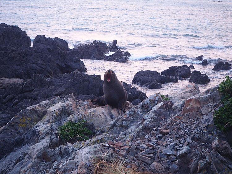 Lion de mer ile du nord