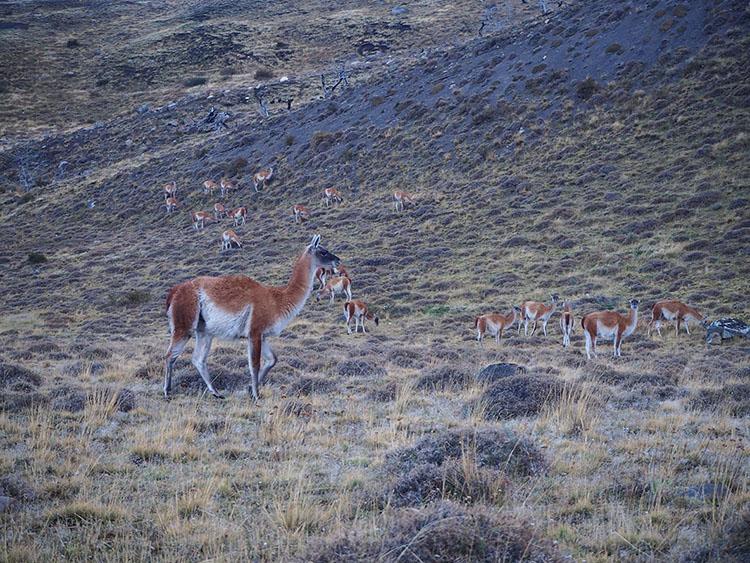 Nos amigos les Guanacos au parc Torres Del Paine Chili - Année sympathique tour du monde