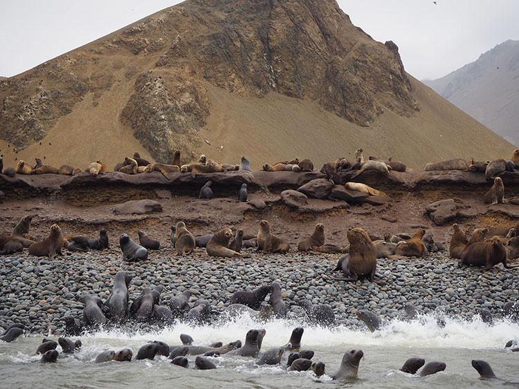 Lions de mer Paracas Pérou Année sympathique